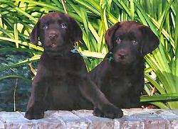 Matlock/Hula male pups