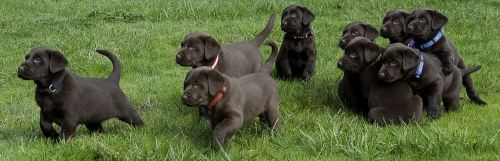 Labrador retrievers breeding dogs